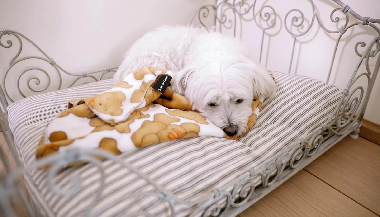 Kleiner weisser Hund im Hundebett, sehr entspannt